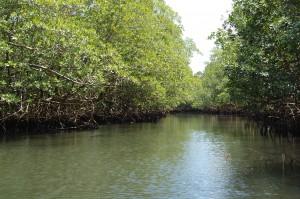 Manglares, Mangrove: Bahia de Taco.